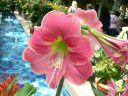 Amaryllis (Hippeastrum) Flower.