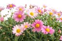 Pink Marguerite Daisy.