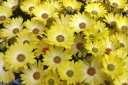 Yellow African Daisy Flowers.