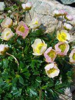 Pale pink Ranunculus galcialis.