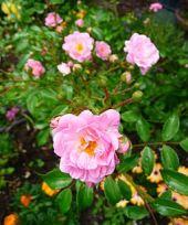 The Fairy Rose.