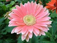 Pale pin old-fashioned gerbera daisy flower.