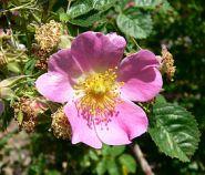 Pink single rose cultivar rubiginosa.