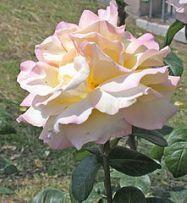Creamy pink Climbing Peace rose.
