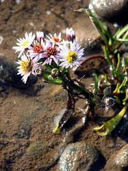 The delicious Sea Aster.