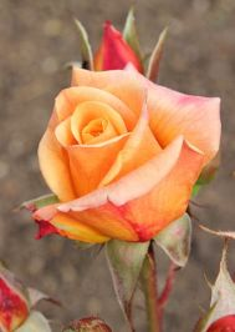The Circus Rose.