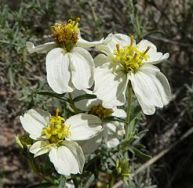 Beautiful creamy Zinnia alcerosa. The Desert Zinnia.