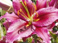 Deep pink Oriental Lily. Unknown name.