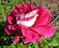 Flaming Peace. A sport of the Peace Rose. Deep pink.