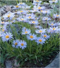 The ultimate pale blue Aster Alpinus Daisy Flower.