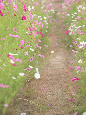 A Dirt Path Through the Cosmos Flowers.