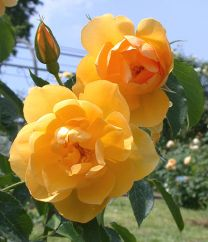 Rosa Buttercup David Austin. 1988. Gorgeous yellow double rose.