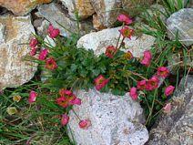 Ranunculus glacialis deep pink.