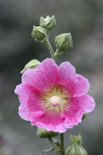 Beautiful pink hollyhock flower close-up.