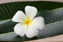 A White Frangipani Flower.