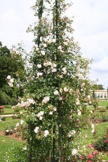 New Dawn Rose as a Pillar Rose.