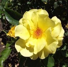Gorgeous Floribunda Rose 'Sunflare'.