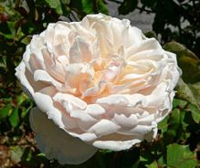 Madame Alfred Carriere Rose.