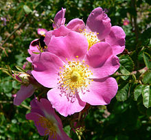 Single Rose Cultivar 'Rubiginosa'.