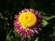 Pink everlasting daisy flower hybrid.