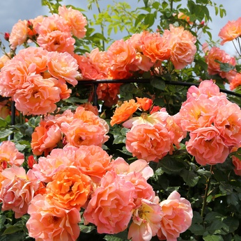 The Apricot Orange Westerland Rose.