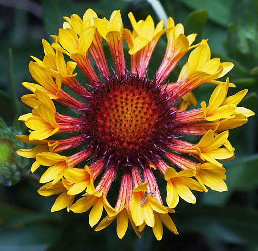 Beautiful Blanket Flower. Gaillardia. From Tasmania.
