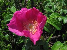 Rosa rugosa deep pink wild form of single rose.