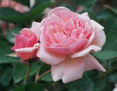 Felicia. A Hybrid Musk rose.