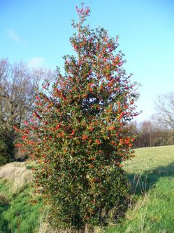 A Holly Tree Covered in Berries.