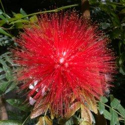 Red Calliandra. Winter Blooming Flowers.