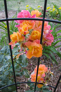 Pale Pink and Yellow Blooms Climbing a Support. Joseph's Coat Rose.