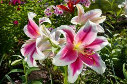 Pink and White Oriental Lilies in a Garden.