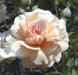 Perfect fragrant Buff Beauty Hybrid Musk. Pale Apricot. Pemberton 1934.