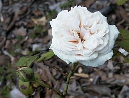 Beautiful white rose 'Gloire de Dijon'. Pictures of Roses in Rose Hall of Fame.
