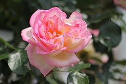 Princess de Monaco Rose.