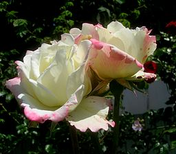 Rosa 'Athena'. Hybrid Tea Rose by Kordes. 1958.