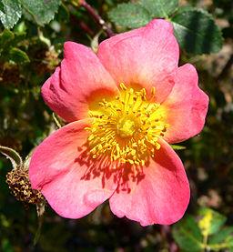 The beautiful apricot-pink single rose 'Lady Penance'. A Hybrid.