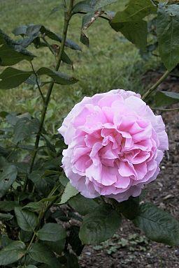 Pale pink David Austin Rose 'Wife of Bath'.