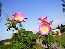 Wild Rose Flower Rubiginosa. Sweetbriar or Eglanteria.