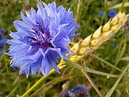 A Blue Cornflower Amongst the Wheat.