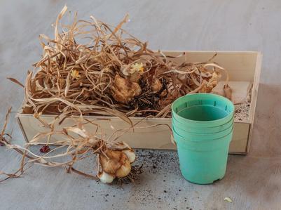 Freesia Bulbs With Pot.