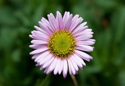 Single seaside daisy. Erigeron glaucus.