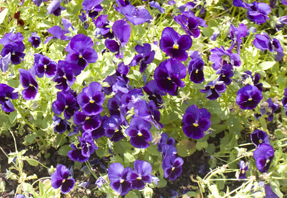 A Bed Of Blue Pansies.