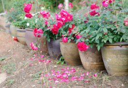Pink and White Roses in Containers.