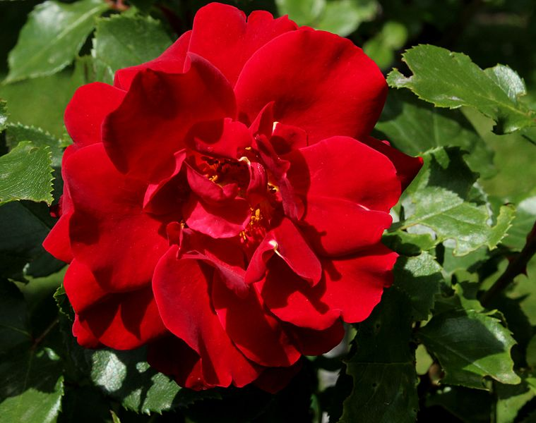 Double Red Knock Out Rose.