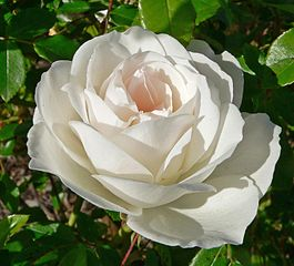 The beautiful popular Climbing 'Iceberg' Rose. White with delicate pink-tinted centre. Hall of Fame