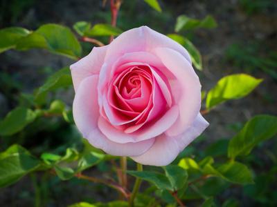 A Single Bonica Rose Bloom.
