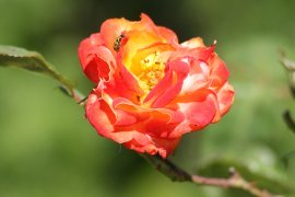 Orange and Yellow Colours in a Single Bloom of Joseph's Coat Rose.