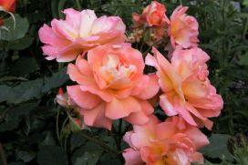 Westerland Rose.