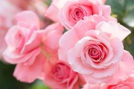 The Pink Bonica Rose. A Floribunda.